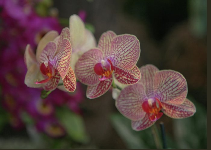 Flowers Greeting Card featuring the photograph Tiger Orchid by Liz Santie