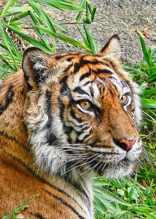 Tiger Greeting Card featuring the photograph Tiger Portrait by Jennie Marie Schell