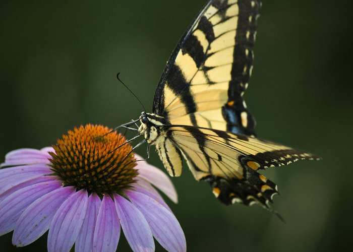 Butterfly Greeting Card featuring the photograph Tiger Swallowtail 1 by Teresa Mucha