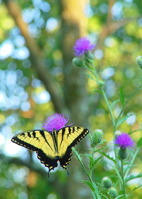 Butterfly Greeting Card featuring the photograph Tiger Swallowtail Butterfly by Robert Suits Jr