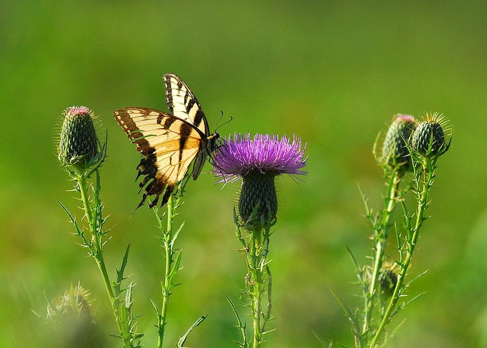 Tiger Swallowtail Greeting Card featuring the photograph Tiger Swallowtail On Thistle by Alan Lenk