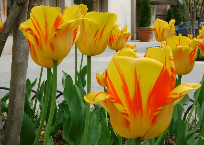 Tiger Tulips Greeting Card featuring the photograph Tiger Tulips by Cynthia Butler