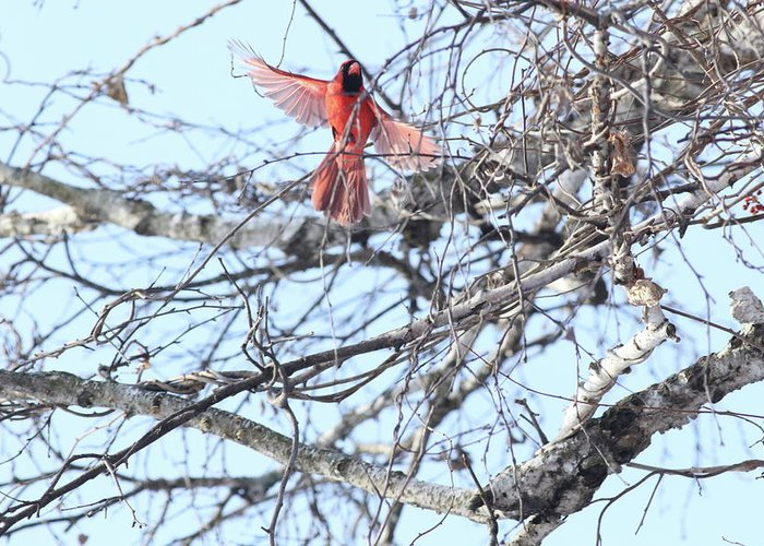 Make Cardinal. Flight. Tree. Blue Sky. Branches. Greeting Card featuring the photograph Time To Fly by Marty Timmerman