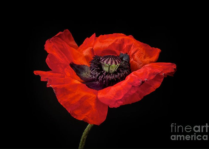 Red Oriental Poppy Greeting Cards