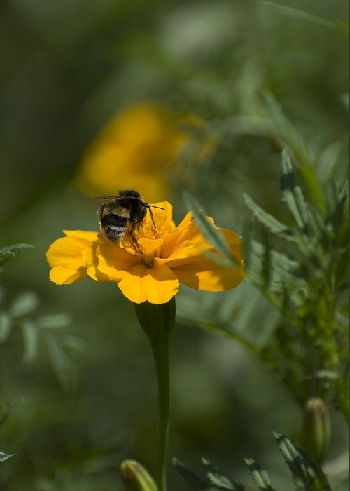 Yellow Greeting Card featuring the photograph To be or not to bee by Adrian Bud