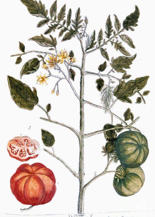 1730s Greeting Card featuring the photograph Tomato Plant, 1735 by Granger