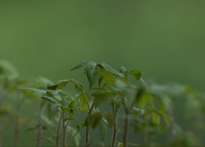 Agriculture Greeting Card featuring the photograph Tomato seedlings in the morning by Adrian Bud