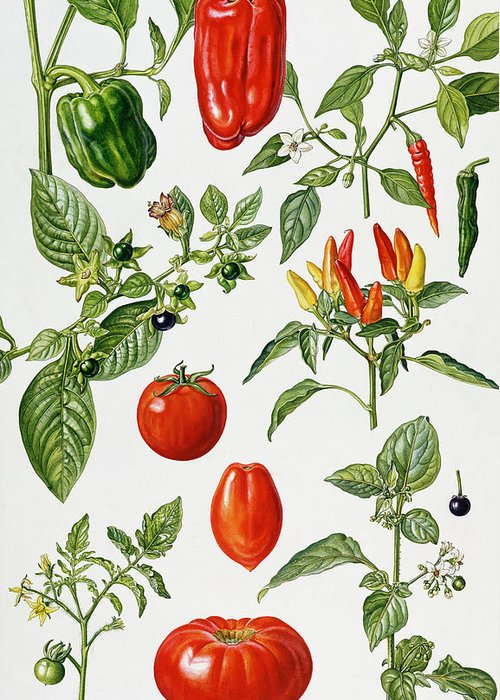 Green; Red; Pepper; Chilli; Deadly Nightshade; Plum; Beef; Huckleberry; Botanical; Piment; Piments; Vegetables; Pepper; Chillies; Plums; Leaf; Leafs; Flower Greeting Card featuring the painting Tomatoes And Related Vegetables by Elizabeth Rice