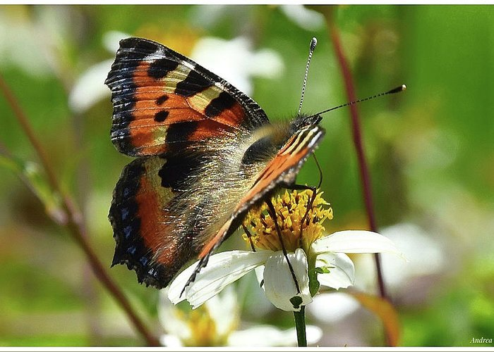 Tortoise Greeting Card featuring the photograph Tortoise Butterfly by Andrea Otte