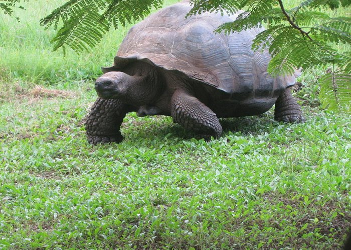 Tortoise Greeting Card featuring the photograph Tortoise by Patti Valenti