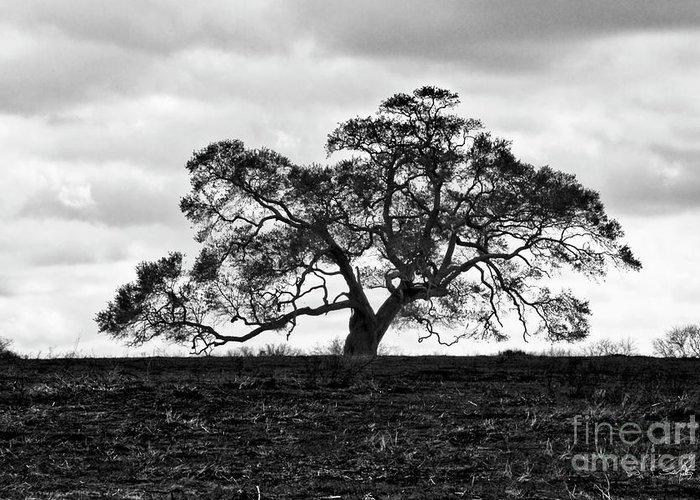 Oak Tree Greeting Card featuring the photograph Tortue Oak by Scott Pellegrin