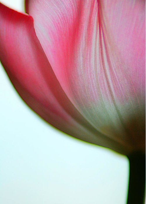 Tulip Greeting Card featuring the photograph Translucence by Steven Geer