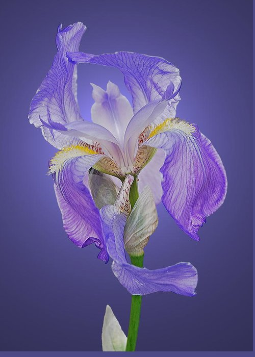 Iris Greeting Card featuring the photograph Translucent Iris by Michael Peychich