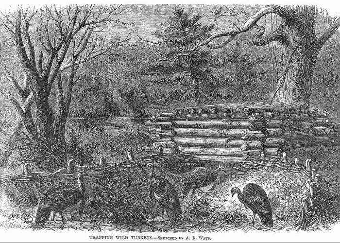 1868 Greeting Card featuring the photograph Trapping Wild Turkeys, 1868 by Granger