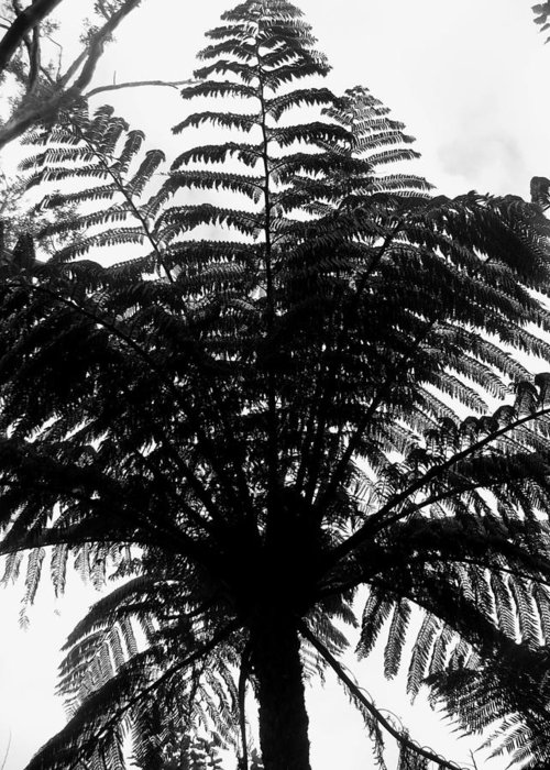 Fern Greeting Card featuring the photograph Tree Fern by Coral Dolan