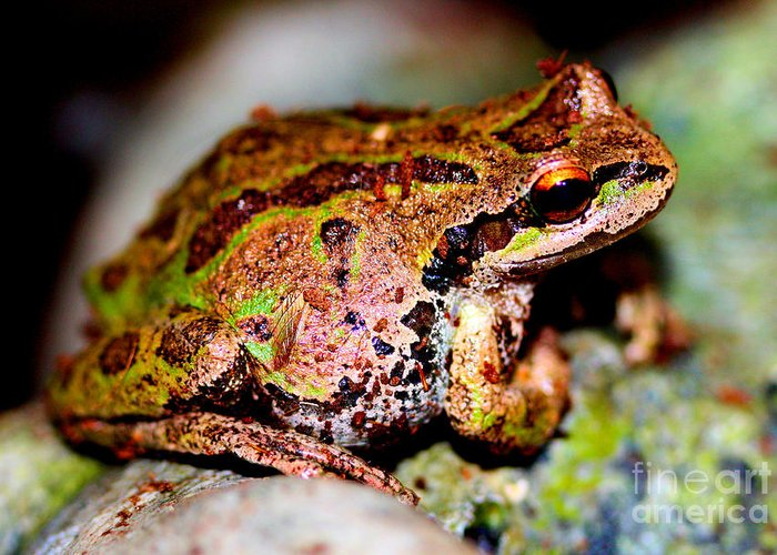 Tree Frog Greeting Card featuring the photograph Tree Frog Close Up by Nick Gustafson