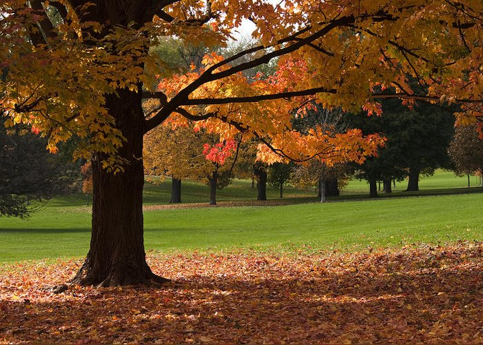 Maple Leaf Greeting Card featuring the photograph Tree Of Fall Autumn Colors by Chad Davis