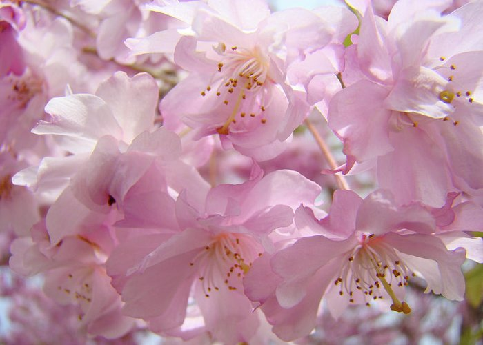 Flowers Greeting Card featuring the photograph Tree Spring Pink Flower Blossoms Art Print Baslee Troutman by Baslee Troutman