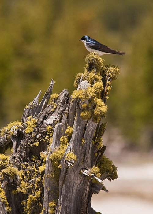 Bird Greeting Card featuring the photograph Tree Swallow by Chad Davis