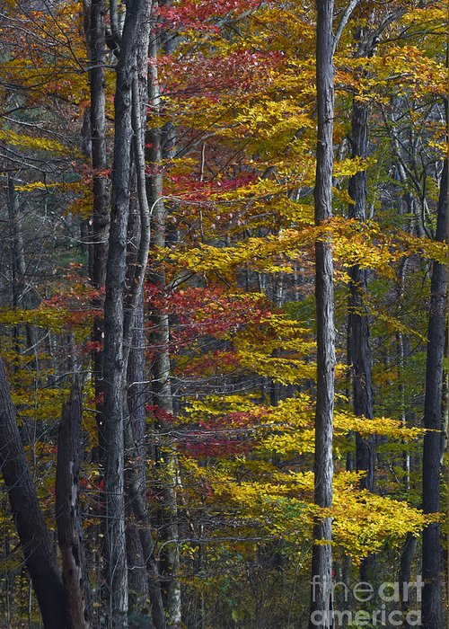 Autumn Greeting Card featuring the photograph Trees With Autumn Colors 8260c by Cynthia Staley