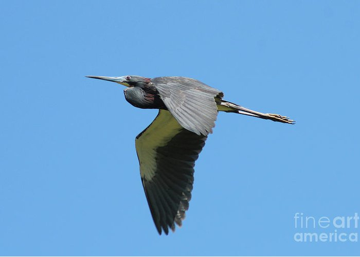 Tri-colored Heron Greeting Card featuring the photograph Tri-colored Heron In Flight by Maili Page