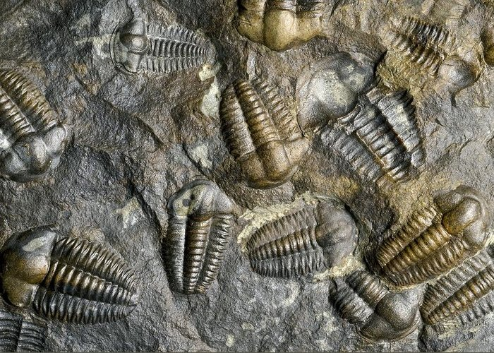 Trilobite Greeting Card featuring the photograph Trilobite Fossils by Sinclair Stammers