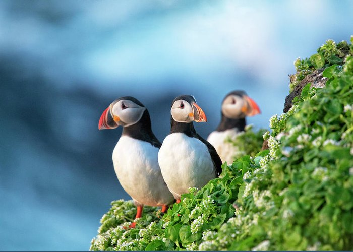 Puffins Greeting Card featuring the photograph Trio by Leigh Lofgren