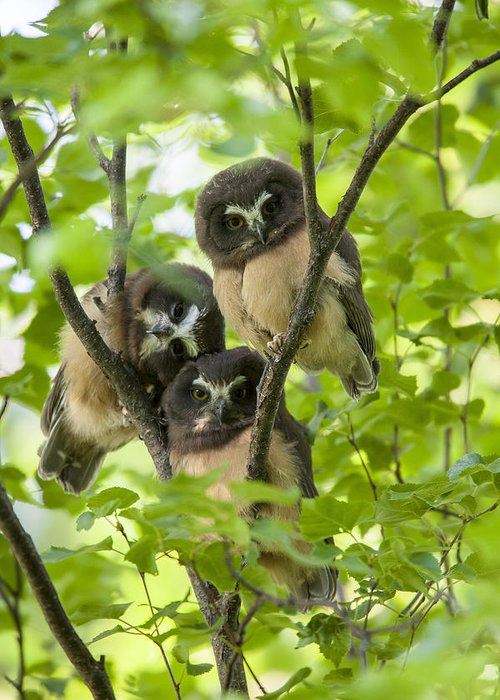 Alaska Greeting Card featuring the photograph Triple Cute Saw-whet Owls by Tim Grams