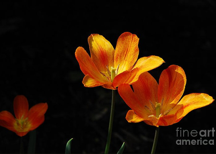Tulips Greeting Card featuring the photograph Triples by Lois Bryan