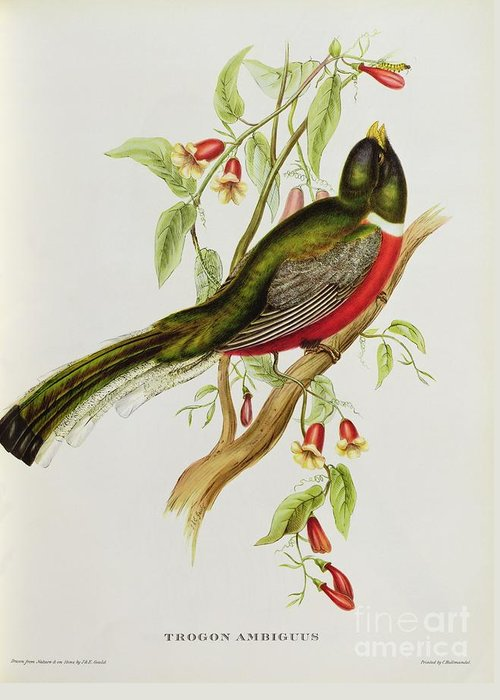 Trogon Greeting Card featuring the painting Trogon Ambiguus by John Gould