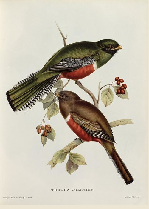 Trogon Greeting Card featuring the painting Trogon Collaris by John Gould