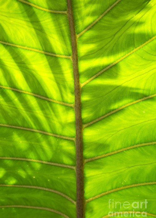 Hawaii Greeting Card featuring the photograph Tropical Green Leaf Texture by Charmian Vistaunet