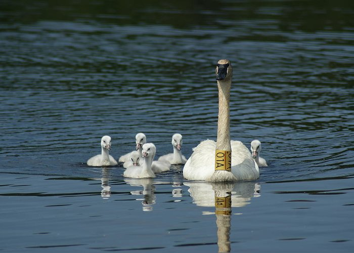 Nature Greeting Card featuring the photograph Trumpeter Swan With Cygnets by Ron Read