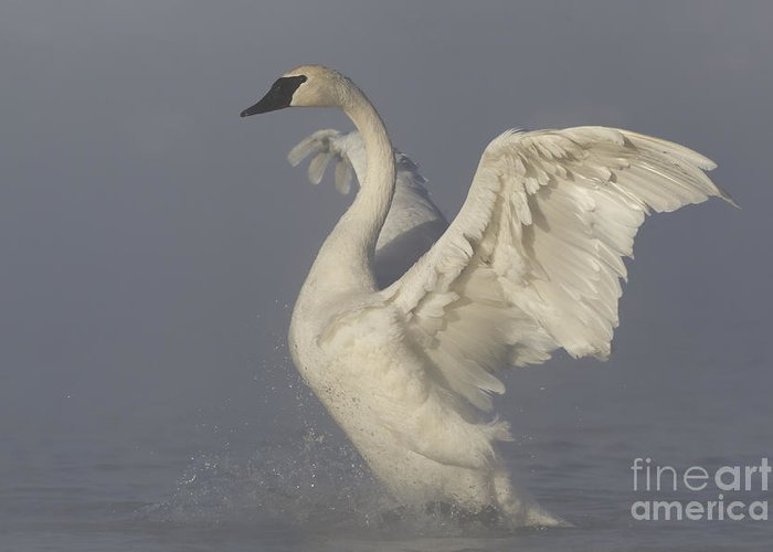 Trumpeter Swan Greeting Card featuring the photograph Trumpeterswan4 by Tammy Wolfe