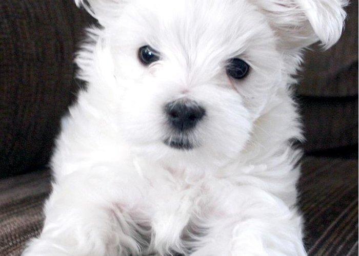 Photgraphy Digital Art Dog Maltese Greeting Card featuring the photograph Tsheyka The Maltese Pup by BJ Redmond