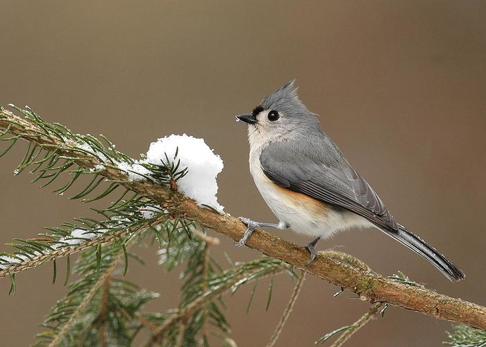 Tufted Titmouse Greeting Card featuring the photograph Tufted Titmouse by Alan Lenk