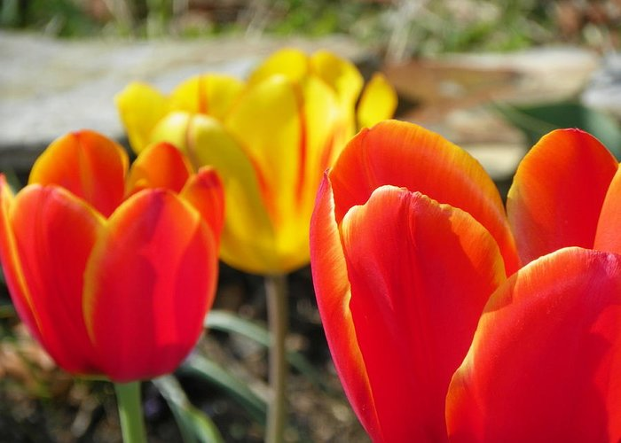 Flowers Greeting Card featuring the photograph Tulip Celebration by Karen Wiles