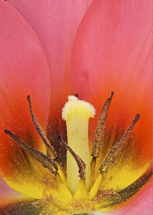 Tulip Greeting Card featuring the photograph Tulip Center by Michael Peychich