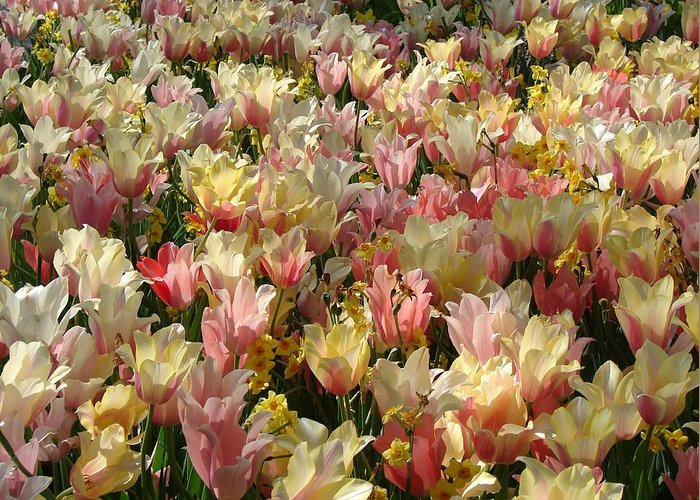 Landscape Greeting Card featuring the photograph Tulip Delight 3 by Shiana Canatella