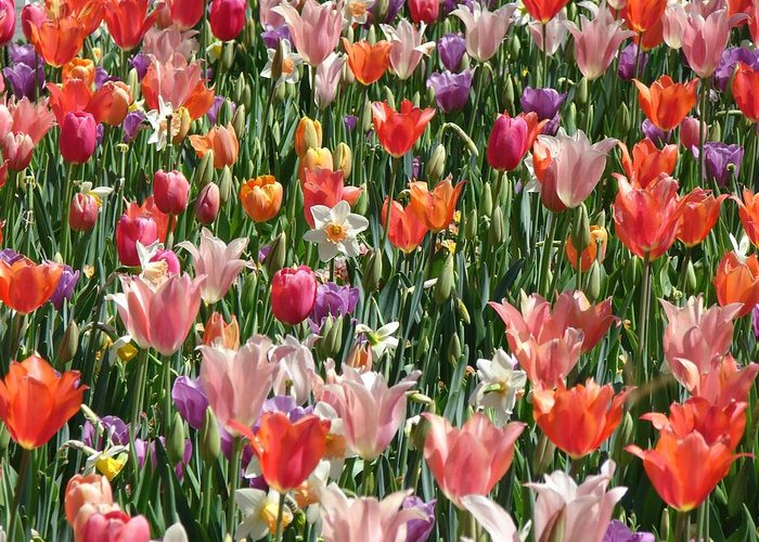 Landscape Greeting Card featuring the photograph Tulip Delight 4 by Shiana Canatella