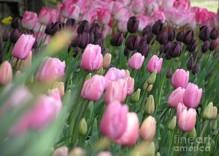 Tulips Greeting Card featuring the photograph Tulip Dreams by Louise Magno