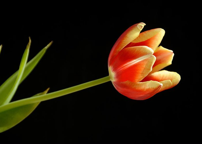 Flower Greeting Card featuring the photograph Tulip by Ed Zirkle