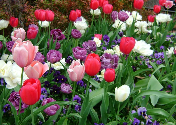 Tulip Garden Greeting Card featuring the photograph Tulip Garden by Cynthia Butler