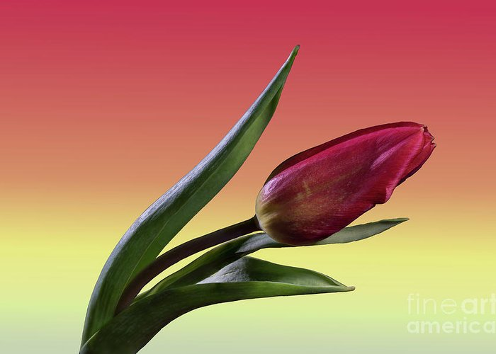 Tulip Greeting Card featuring the photograph Tulip Love by Tod and Cynthia Grubbs
