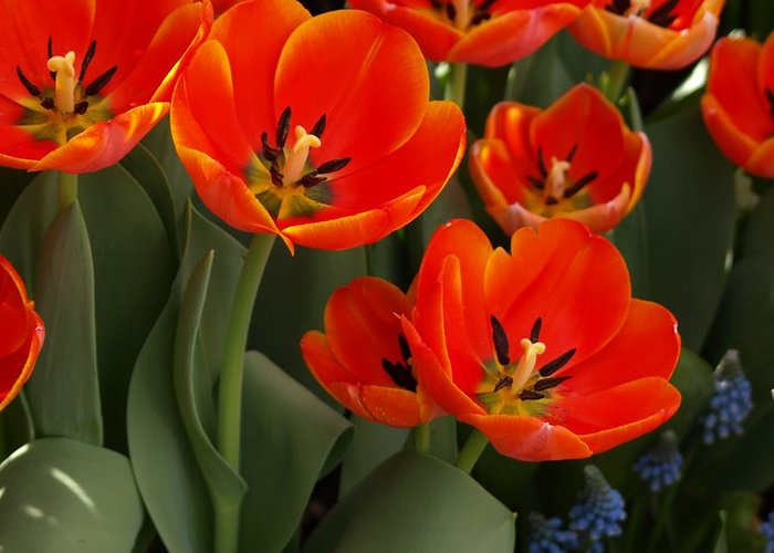 Ann Keisling Greeting Card featuring the photograph Tulip Power by Ann Keisling