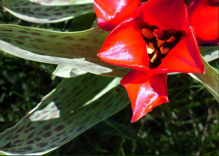 Tulip Greeting Card featuring the photograph Tulip by Steve Karol
