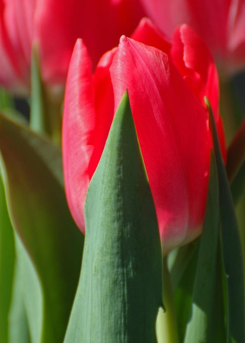 Tulips Greeting Card featuring the photograph Tulip Time by Jean Booth