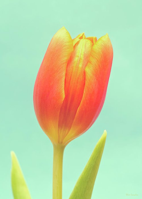Tulip; Orange; Flower; Blue; Background; Green; Colorful; Close-up; Closeup; Beauty; Beautiful; Natural; Nature; Single; One; Vertical; Negative Space; Nobody; Bloom; Blossom; Easter; Spring; Flora; Season; Stem; Leaf; Petals; Petal; Leaves; Dutch; Elegant; Fragile; Photography; Fine Art; Wim Lanclus; Art; Floral; Springtime; Delicate; Vibrant; Vivid; Minimal; Simple; Minimalism; Simplism; Minimalistic Greeting Card featuring the photograph Tulip by Wim Lanclus