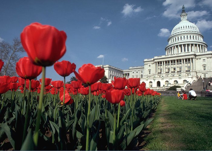 Flowers Greeting Card featuring the photograph Tulips At The Capitol by Carl Purcell