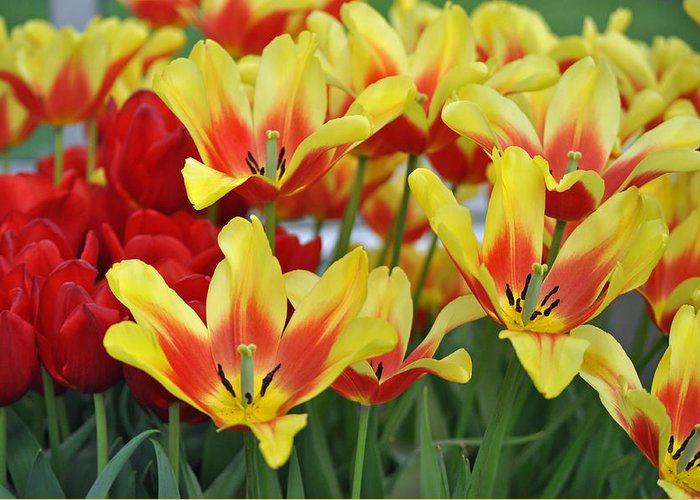Tulips Greeting Card featuring the photograph Tulips Glorious Tulip Monsella by Debra Miller